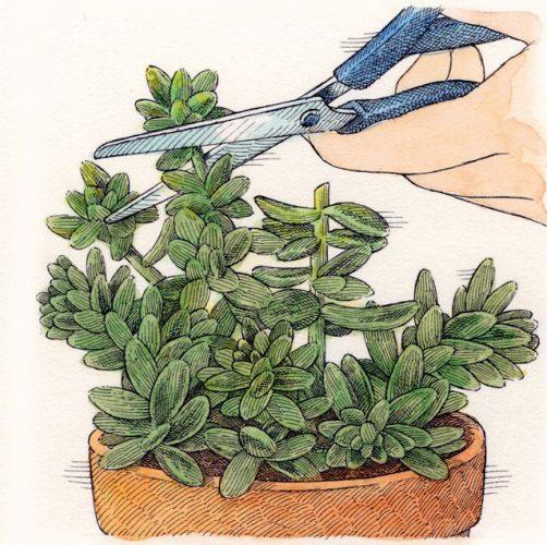تکثیر گیاه ساکولنت