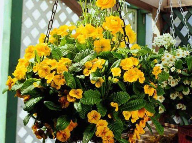 گل پریمیوس