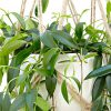 آیا شما هم به دنبال یک گیاه آپارتمانی تصفیه کننده هوا با نگهداری آسان هستید …؟!