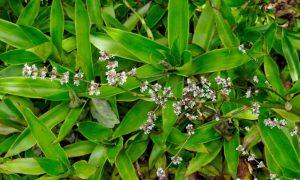 گیاه کالیسیا فراگرنس