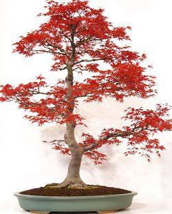 بنسای افرا ژاپنی قرمز