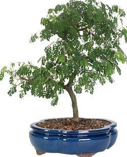 بنسای درخت باران